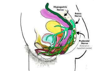 Side View w- Pudendal, Pelvic & Hypogastric Nerves_v3_labeled