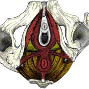 pelvic-floor-fi